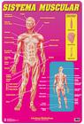 Lamina didactica sistema muscular
